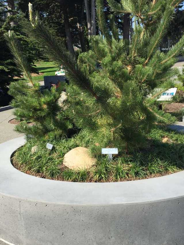 photo of Korean pine surrounded by circular gray bench